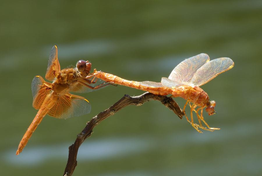 orange-dragonflies-interacting-2