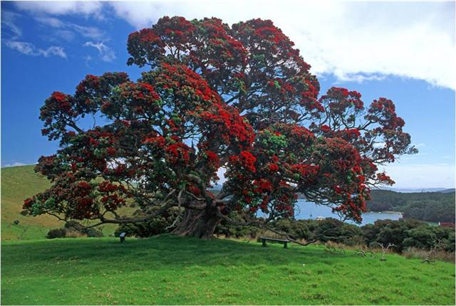 Grandmother Pohutakawa Tree