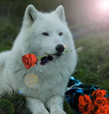 white wolf rose