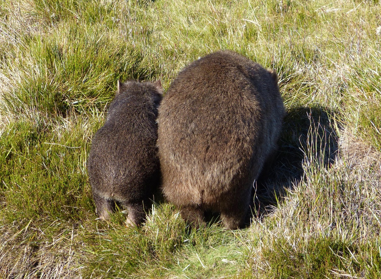 Wombat backside