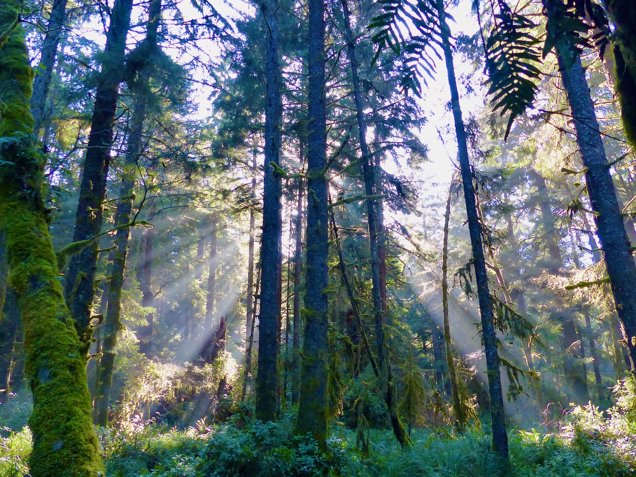 Redwood forest sunlight