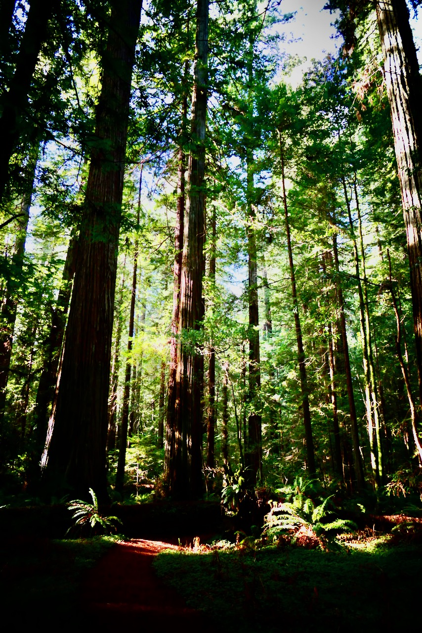 redwood forest magic