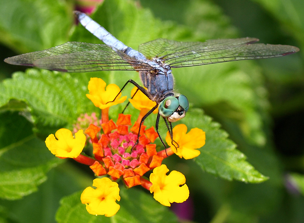 Dragonfly magick