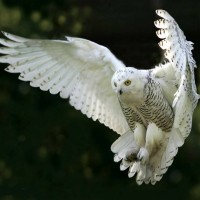 Legend of the White Owl – Messenger of 911