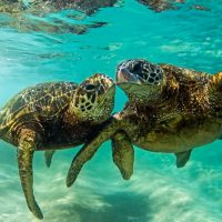 Scorpio Full Moon dedicated to Honu